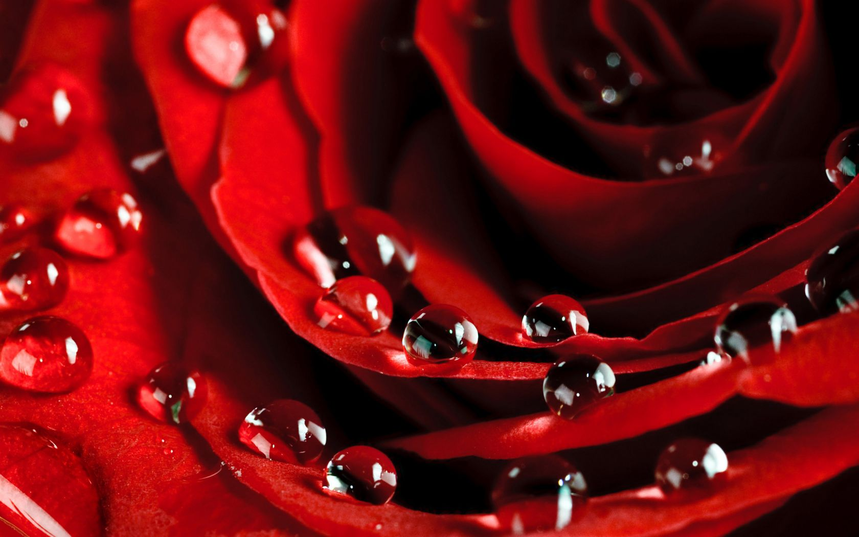 Red Flower Water Drops Hd Wallpapers Best Desktop